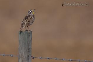 Meadowlark GVR Singing cropped wm