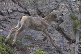 Big horn baby jumping across rock wall at Grassi cropped wm